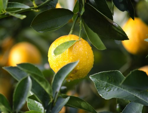 The Importance of Nutrient Leaf Concentrations in HLB-Infected Citrus Trees