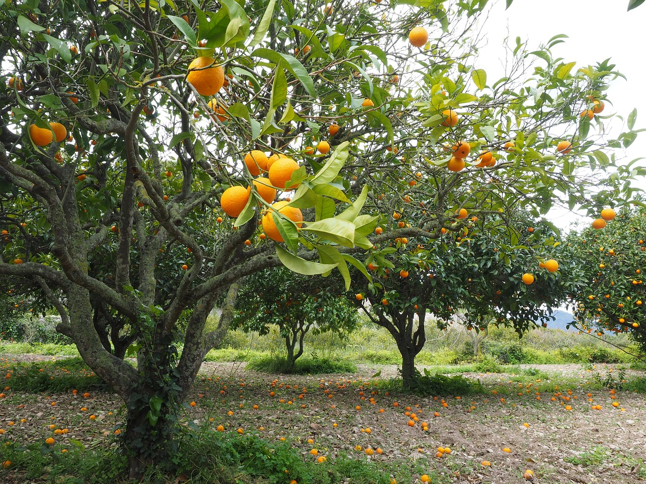 Citrus Growers Can See More Money From Tap